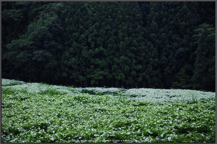 御杖村,半夏生(SDIM0512,F2.8,dp2)2014yaotomi_Top.jpg