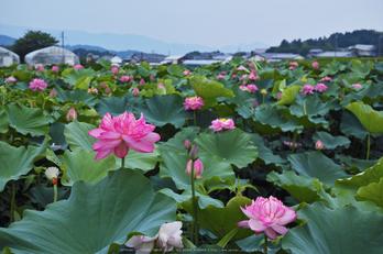 明日香,ハス(SDIM0469,F5,dp2)2014yaotomi_.jpg