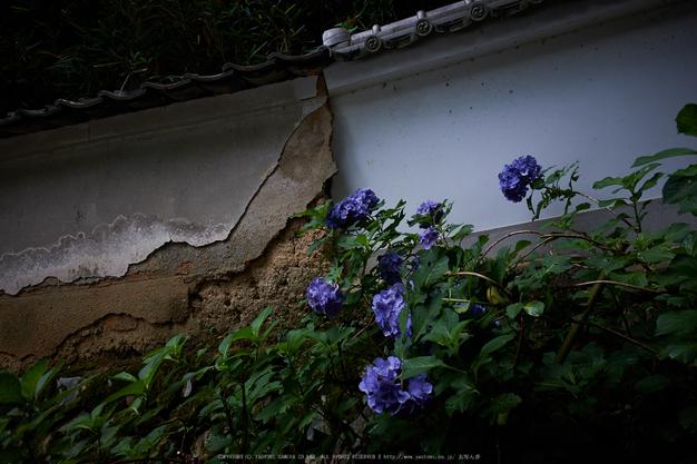 柳谷観音,あじさい(DSCF6631,F3.6,XT1)2014yaotomi_.jpg