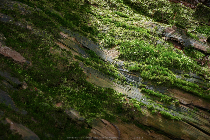 玉置神社,茅の輪(FZ1000,P1000339,41.85mm,F5.6)2014yaotomi_.jpg