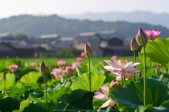 藤原宮跡,ハス(P7160270,ss0.0004,iso100)2014yaotomi_.jpg