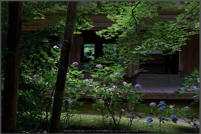 金剛輪寺,あじさい(DSCF6860,F4.5,XT1)2014yaotomi_Top.jpg