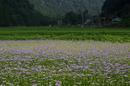 久多の里,北山友禅菊(DSC_1040,85 mm,1-125 秒 (f - 13),FULL)2014yaotomi_.jpg