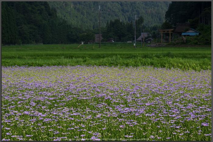 久多の里,北山友禅菊(DSC_1040,85-mm,1-125-秒-(f---13))2014yaotomi_Top.jpg