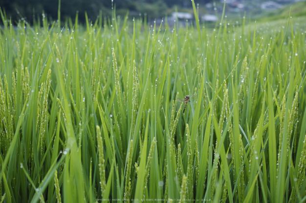 明日香,細川(SDIM0037_2,F3.5,dp2q)2014yaotomi_.jpg