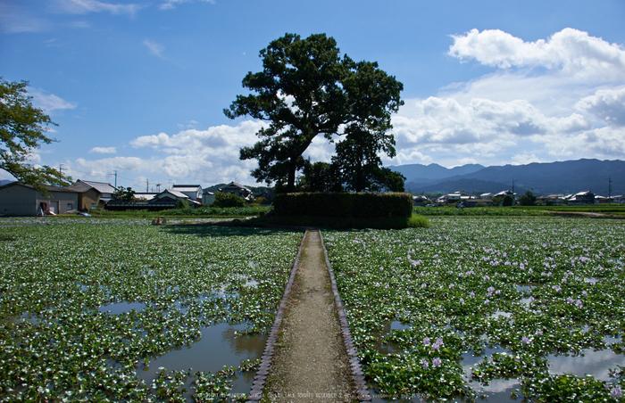 本薬師寺跡,ホテイアオイ(DSCF7077,18mm,f10,XT1)2014yaotomi_.jpg