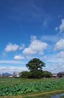 本薬師寺跡,ホテイアオイ(DSCF7088,20.1mm,f8,FULL)2014yaotomi_.jpg
