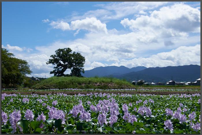 本薬師寺跡,ホテイアオイ(DSCF7138,26.6mm)2014yaotomi_Top.jpg