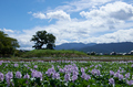 本薬師寺跡,ホテイアオイ(DSCF7138,26.6mm,f7.1,FULL)2014yaotomi_.jpg