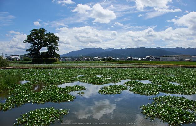 本薬師寺跡,ホテイアオイ(DSCF7180,18mm,f10,XT1)2014yaotomi_.jpg