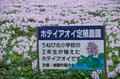本薬師寺跡,ホテイアオイ(DSCF7577,F6.4,83.3mm,XT1)2014yaotomi_.jpg