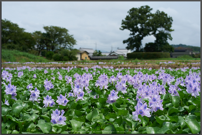 本薬師寺跡,ホテイアオイ(DSC_8163,58,7.1,Df)2014yaotomi_Top.jpg