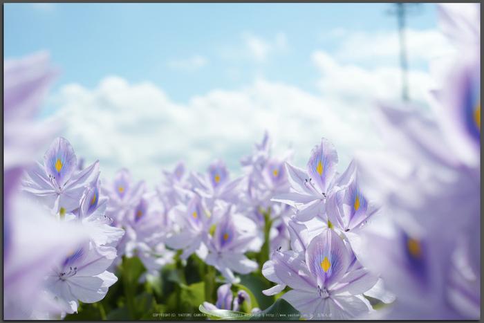 本薬師寺跡,ホテイアオイ(SDIM0052_2,F5,Top)2014yaotomi_.jpg
