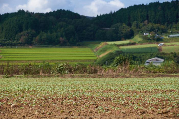 笠,蕎麦の花(DSCF7567,F6.4,70.2mm,XT1)2014yaotomi_.jpg