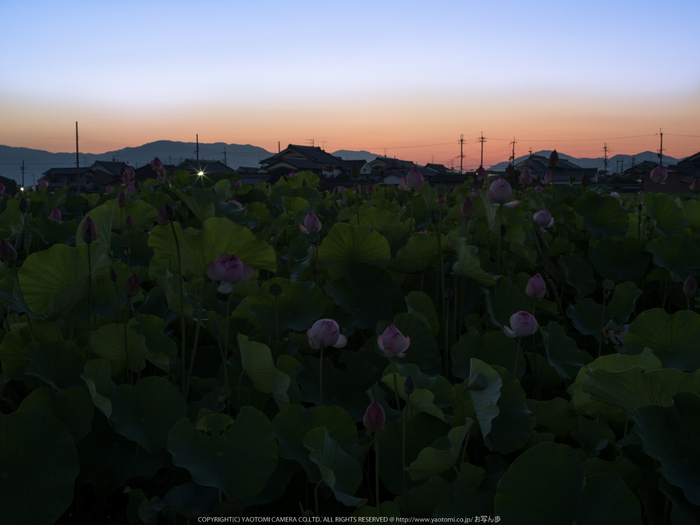 藤原宮跡,はす(IMGP0187,,34.0 秒 (f - 16),645Z)2014yaotomi_.jpg