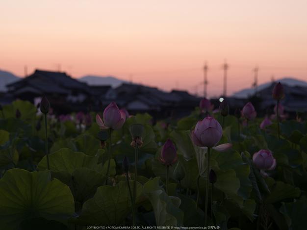 藤原宮跡,はす(IMGP0219,,0.6 秒 (f - 8.0),645Z)2014yaotomi_.jpg
