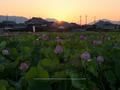 藤原宮跡,はす(IMGP0255,90 mm,1-15 秒 (f - 14),645Z,FULL)2014yaotomi_.jpg