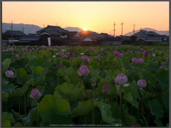 藤原宮跡,はす(IMGP0255,90mm,1-15秒(f14),645Z)2014yaotomi_Top.jpg