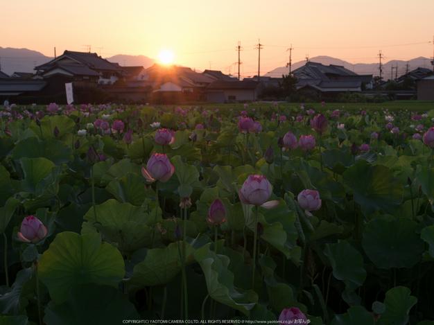 藤原宮跡,はす(IMGP0263,90 mm,1-13 秒 (f - 18),645Z)2014yaotomi_.jpg