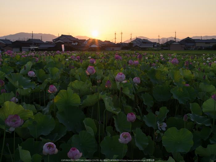 藤原宮跡,はす(IMGP0270,,1-50 秒 (f - 9.0),645Z)2014yaotomi_.jpg