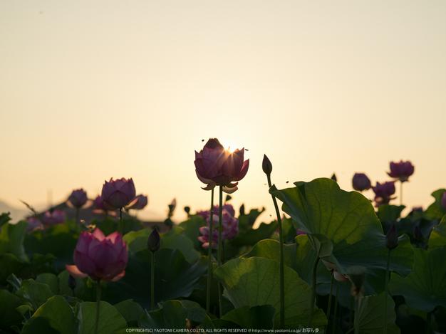 藤原宮跡,はす(IMGP0292,,1-400 秒 (f - 6.3),645Z)2014yaotomi_.jpg