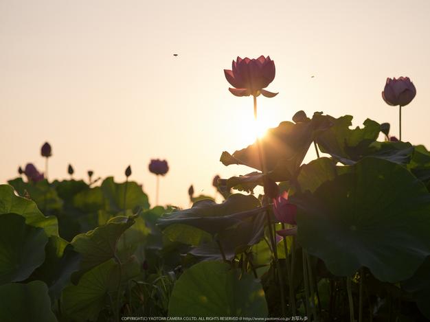 藤原宮跡,はす(IMGP0302,,1-500 秒 (f - 6.3),645Z)2014yaotomi_.jpg