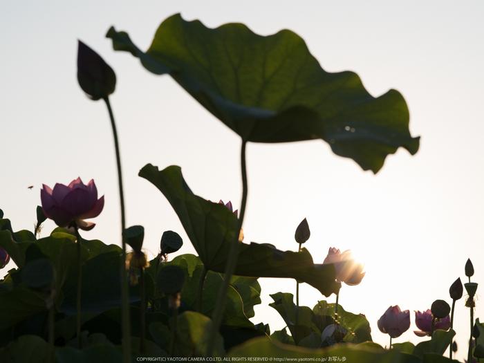 藤原宮跡,はす(IMGP0325,,1-160 秒 (f - 9.0),645Z)2014yaotomi_.jpg