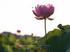 藤原宮跡,はす(IMGP0332,,1-200 秒 (f - 5.6),645Z,FULL)2014yaotomi_.jpg
