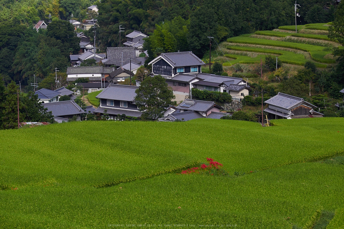 明日香,細川,彼岸花(P9170306,59mm,F6.3,EM1)2014yaotomi_.jpg
