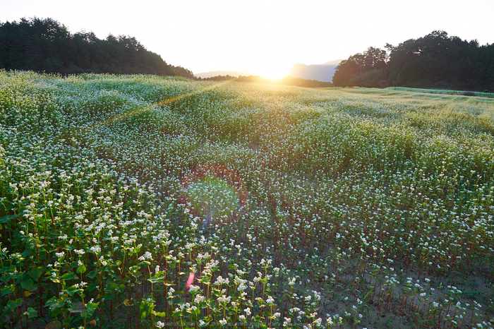 桜井,笠,そば畑(P9170151,12mm,F5,EM1)2014yaotomi_.jpg