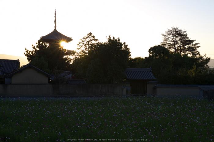 法起寺,コスモス(IMGP0327,35mm,F8,KS1)2014yaotomi_.jpg