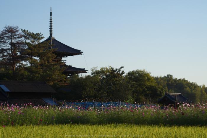 法起寺,コスモス(IMGP0350,87.5mm,F9,KS1)2014yaotomi_.jpg