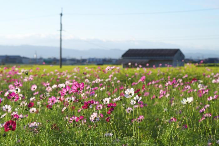 法起寺,コスモス(IMGP0370,50mm,F5,KS1)2014yaotomi_.jpg