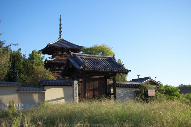 法起寺,コスモス(IMGP0393,30mm,F1.8,KS1)2014yaotomi_.jpg