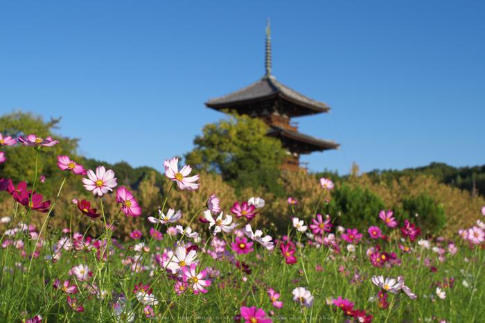 法起寺,コスモス(IMGP0403,30mm,F5.6,KS1)2014yaotomi_.jpg
