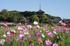 法起寺,コスモス(IMGP0436,2014yaotomi_,50mm,F4.5,FULL)2014yaotomi_.jpg