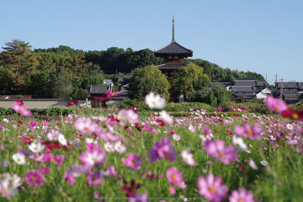 法起寺,コスモス(IMGP0436,2014yaotomi_,50mm,F4.5,KS1)2014yaotomi_.jpg