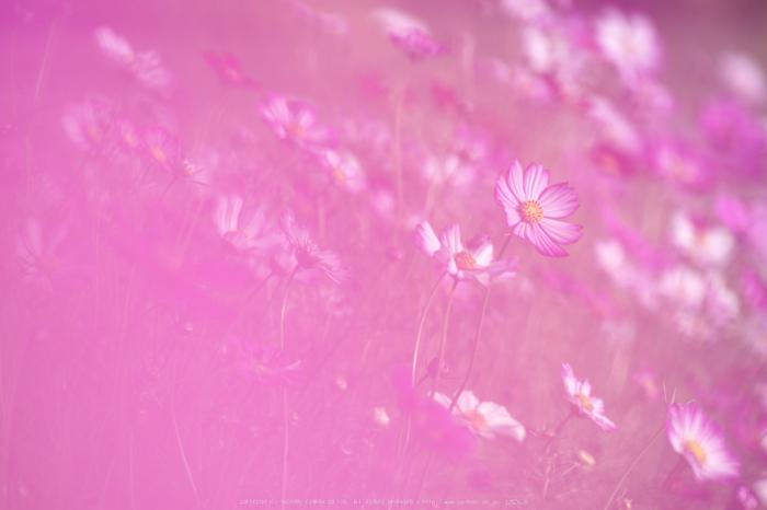 法起寺,コスモス(IMGP0467,300mm,F7.1,KS1)2014yaotomi_.jpg