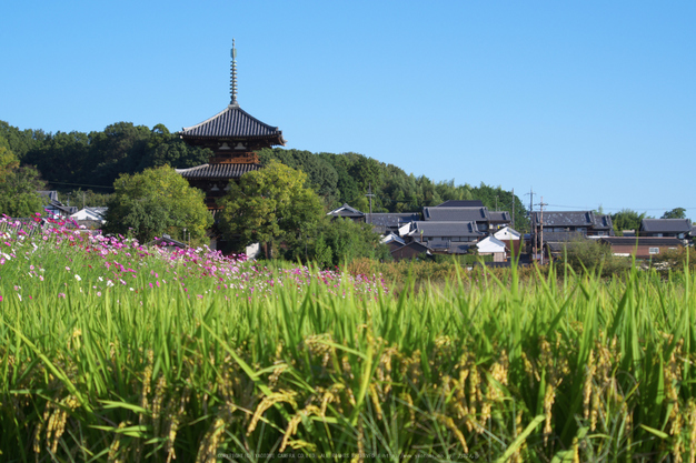法起寺,コスモス(IMGP0481,62.5mm,F9,KS1)2014yaotomi_.jpg