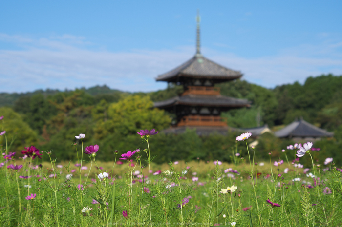 法起寺,コスモス(IMGP0499,70mm,F7.1,KS1)2014yaotomi_.jpg