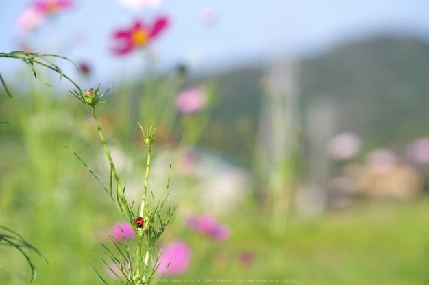 法起寺,コスモス(IMGP0506,107.5mm,F9,KS1)2014yaotomi_.jpg