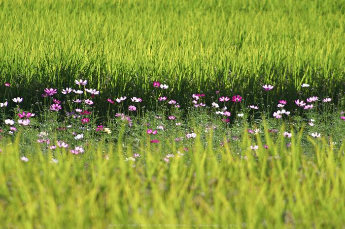 法起寺,コスモス(IMGP0523,300mm,F8,KS1)2014yaotomi_.jpg