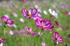 法起寺,コスモス(IMGP0596,50mm,F5,FULL)2014yaotomi_.jpg