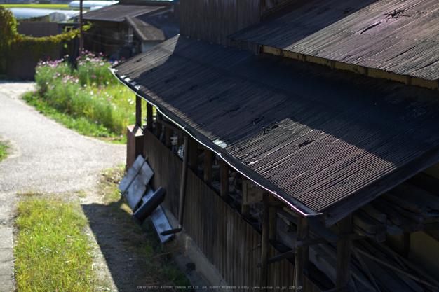 法起寺,コスモス(IMGP0615,50mm,F2,KS1)2014yaotomi_.jpg