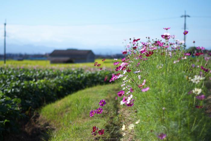 法起寺,コスモス(IMGP0621,50mm,F2,KS1)2014yaotomi_.jpg