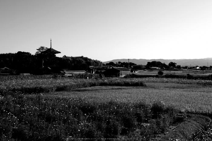 法起寺,コスモス(IMGP0652,30mm,F5.6,KS1)2014yaotomi_.jpg