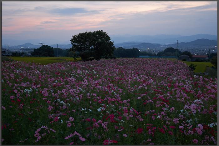 九品寺,コスモス(DSCF8071,Top)2014yaotomi_.jpg