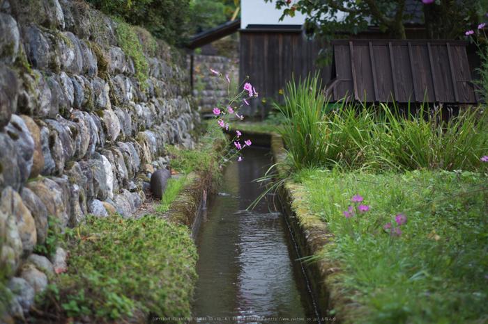 京都美山,かやぶきの里,コスモス(IMGP1038,50mm,F2,KS1)2014yaotomi_.jpg