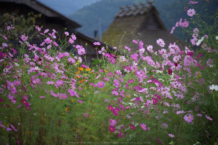京都美山,かやぶきの里,コスモス(IMGP1041,50mm,F2,KS1)2014yaotomi_.jpg