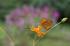 京都美山,かやぶきの里,コスモス(IMGP1080,FULL)2014yaotomi_.jpg